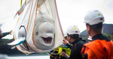 Dwie białuchy zostały uratowane z chińskiego akwarium. Ich uśmiechy mówią wszystko