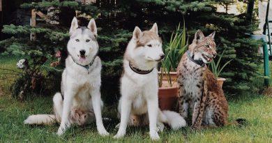 """Kobieta adoptowała 2 rysie z futrzanej fermy, mieszka teraz z 2 """"dużymi kotami"""", 8 psami i 3 końmi"""