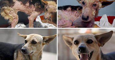"""Zdjęcia """"przed i po"""" psów ocalonych przez pewną organizację"""