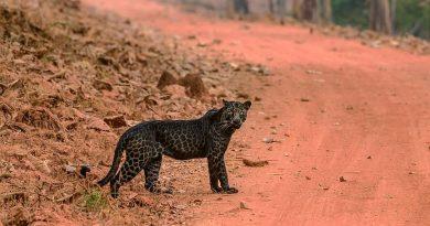 Czarny lampart podczas polowania, uchwycony okiem kamery na indyjskim safari