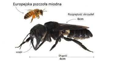 Uważano że wyginęły. Największe pszczoły na świecie odnalezione w Indonezji