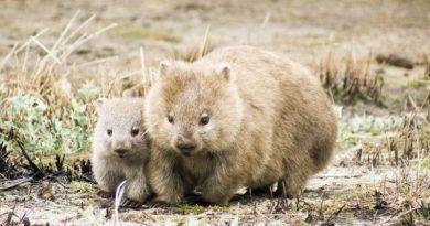 Bohaterskie wombaty ratują inne zwierzęta przed suszą, kopiąc kratery