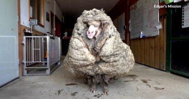 Ostrzyżono owcę-uciekinierkę, miała na sobie 35 kg wełny!