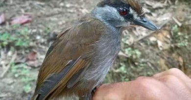 Ptak uważany za wymarły od 170 lat, został zauważony na Borneo