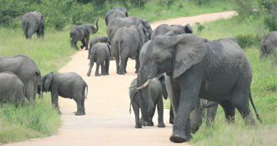 RPA. Stado słoni zdeptało kłusownika