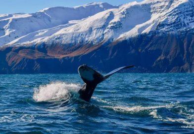 Koronawirus spowodował wyciszenie oceanów, co jest bardzo dobre dla wielorybów