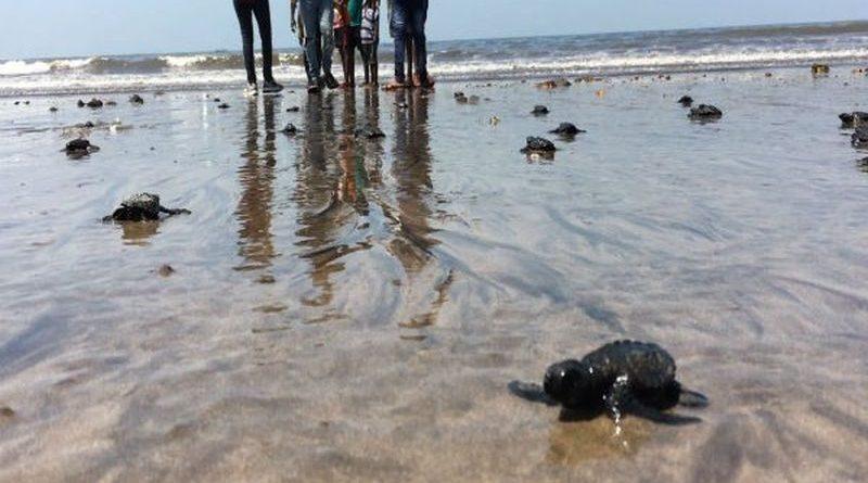Dzięki trwającej 127 tygodni akcji sprzątania, żółwie wróciły na plażę w Bombaju, po 20 latach