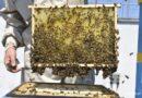 Pszczoły na dachu Urzędu Miasta Gdyni wyprodukowały ponad 200 litrów miodu