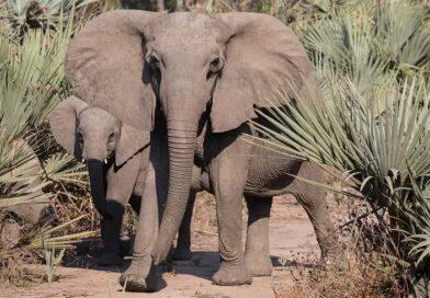 Kłusownictwo sprawiło, że słonie zaczęły się rodzić bez ciosów